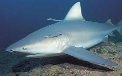ragadozó cápa csúcsragadozó