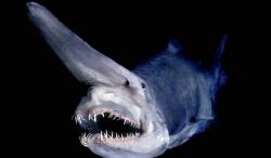 kobold cápa