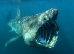 kosárszájú cápa