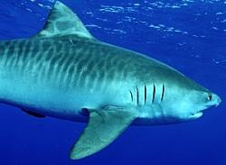 ragadozó cápa